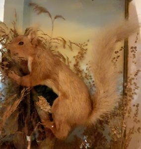 Hitchin's last red squirrel